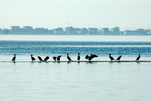 Birds on the shoal.  Heading to Mile Hammock Bay, NC.
