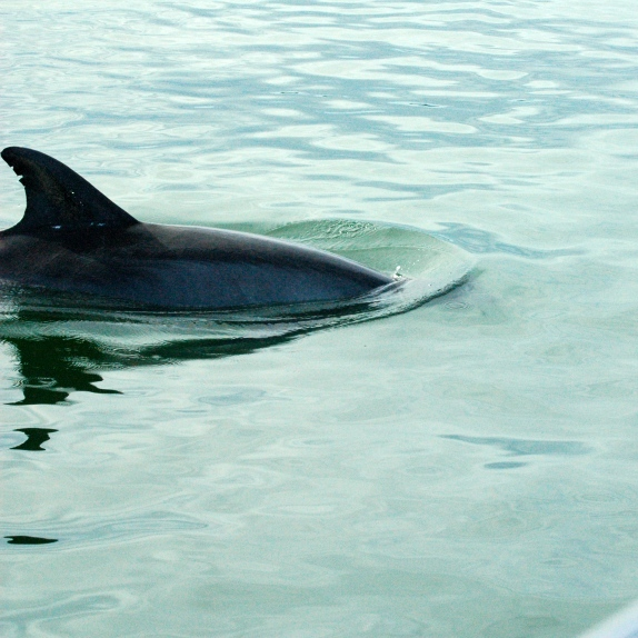 Our closest and best dolphin pic so far.