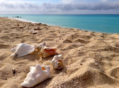 Conch shells are plentiful in Bimini!