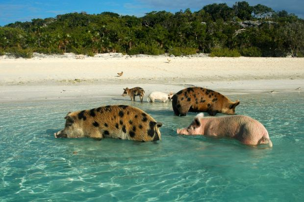 The infamous pigs of Big Major Cay!  Adorable.