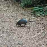 An armadillo! Critter #2