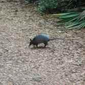 An armadillo! Critter #2