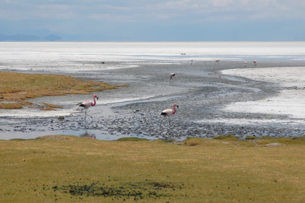 Uyuni is also the breeding ground for lots of species of flamingos!